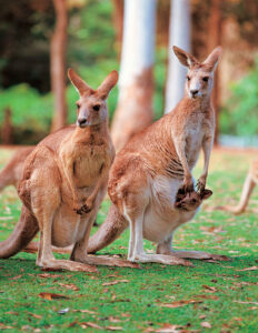 Kangaroo for Australia / New Zealand program