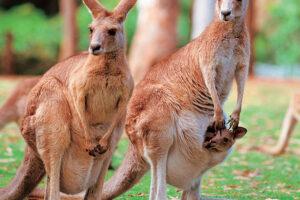 Kangaroo for Australia / New Zealand program